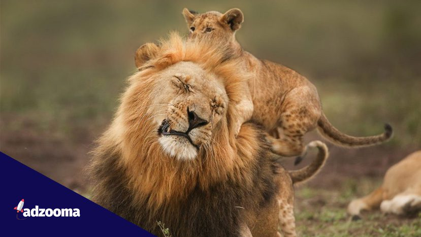 A lion with his cubs